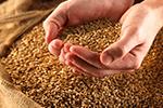 пшеница-фуражная